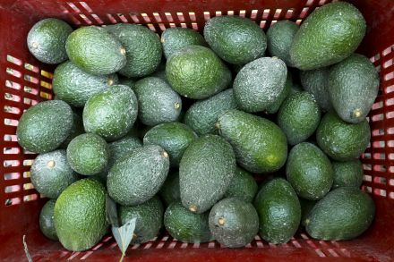 37530215 - 21_02_2016 - AGRICULTURE-AVOCADO_SUPPLY.jpg