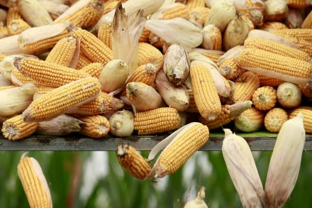 37902773 - 29_03_2016 - CHINA-CORN_STOCKPILES.jpg