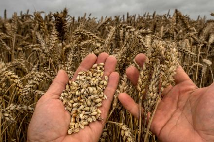 6_39852473 - 15_09_2016 - FILES-FRANCE-AGRICULTURE-ECONOMY-COMMODITIES-WEATHER-WHEAT.jpg