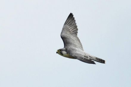 BP_Peregrine falcons_051217_52.jpg