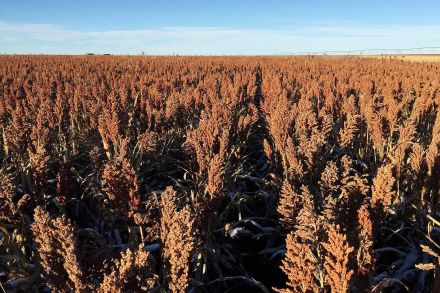 As talks resume, China ends anti-dumping probe of U.S.  sorghum