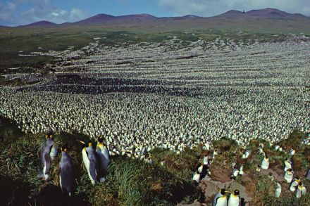 World's largest king penguin colony has shrunk by 90 percent