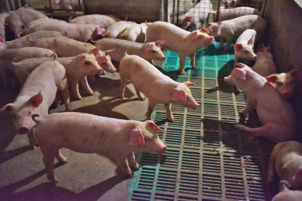African Swine Fever Accelerating in China