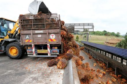 A worker unloads palm oil fruit bunches from a lorry inside a palm oil mill in Bahau, Negeri Sembilan, Malaysia.