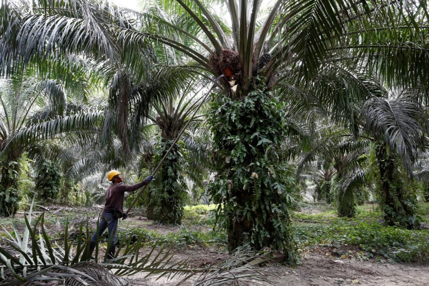 Singapore set to become world's first sustainable palm oil nation, -