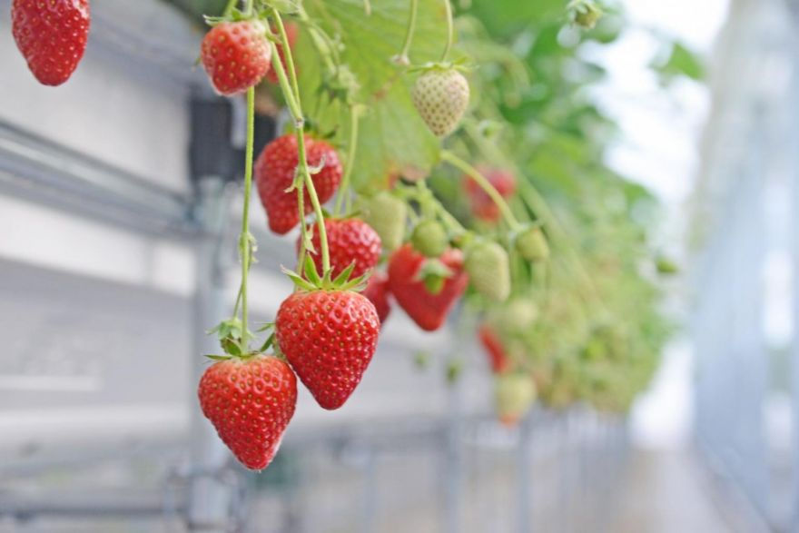 A strawberry with a US$10 price tag helps one tsunami-hit town to recover,  Life & Culture - THE BUSINESS TIMES