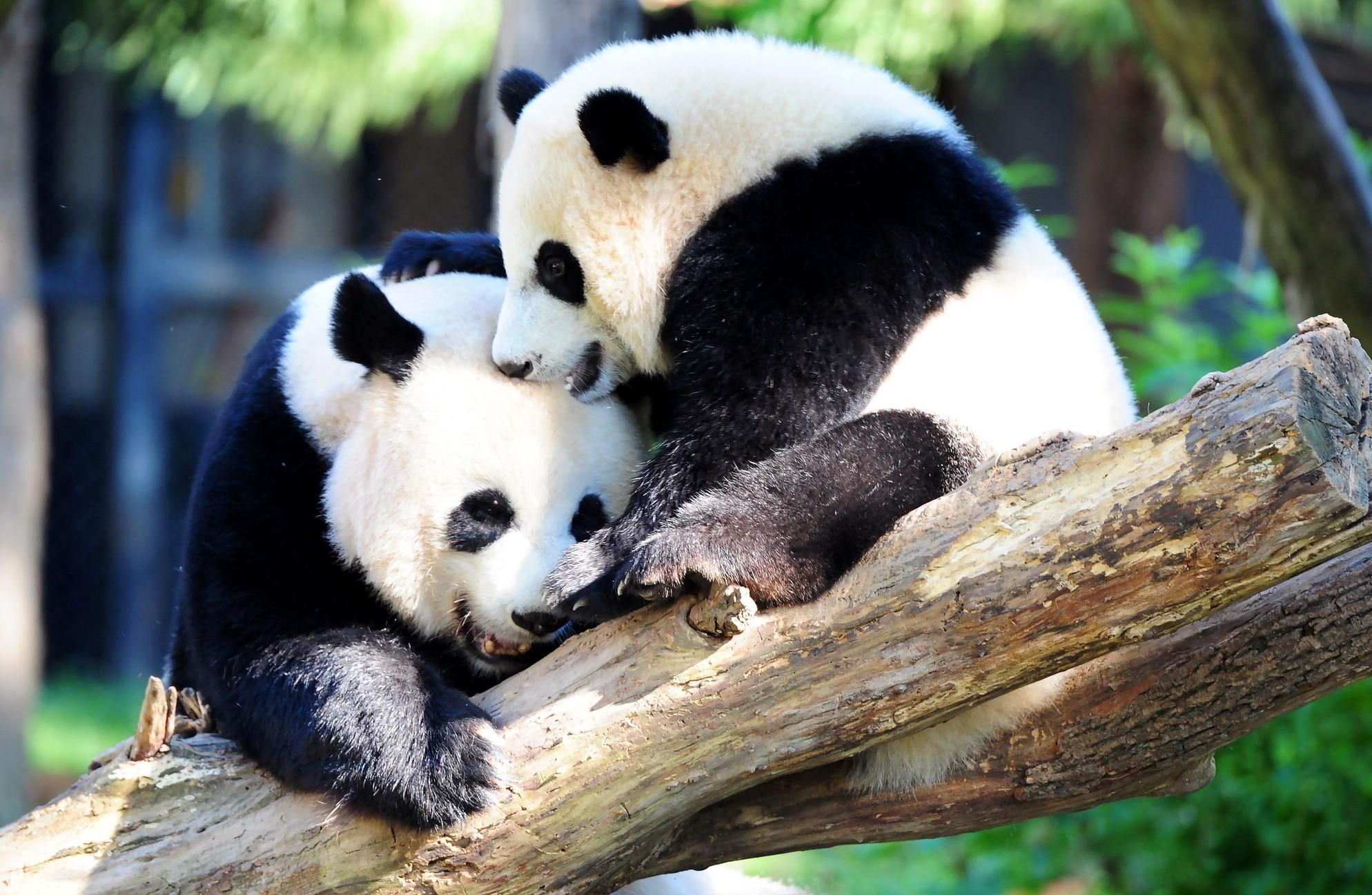 panda extinction The giant panda is known as the the species is also listed under appendix i of the convention on the international trade in endangered species of wild fauna.